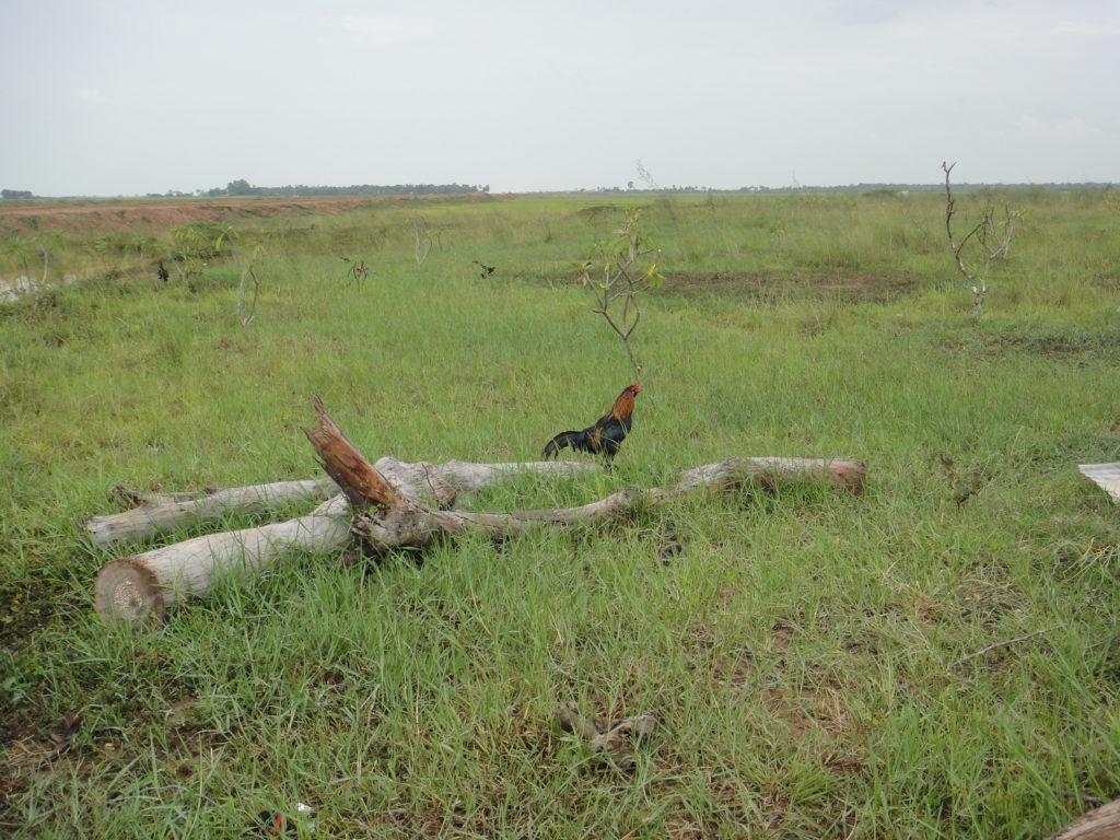 農地のニワトリ